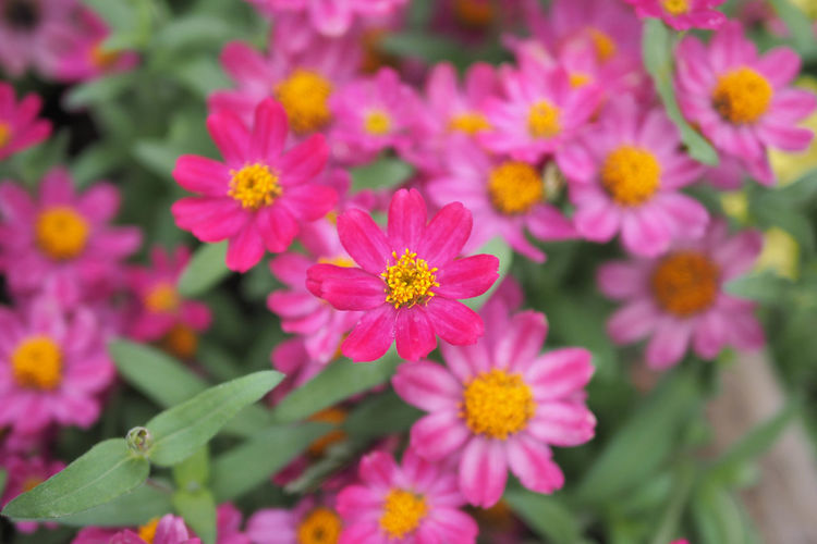 Flower Flowering Plant Freshness Fragility Beauty In Nature Petal Vulnerability  Flower Head Growth Plant Close-up Inflorescence Nature Pink Color Day Plant Part