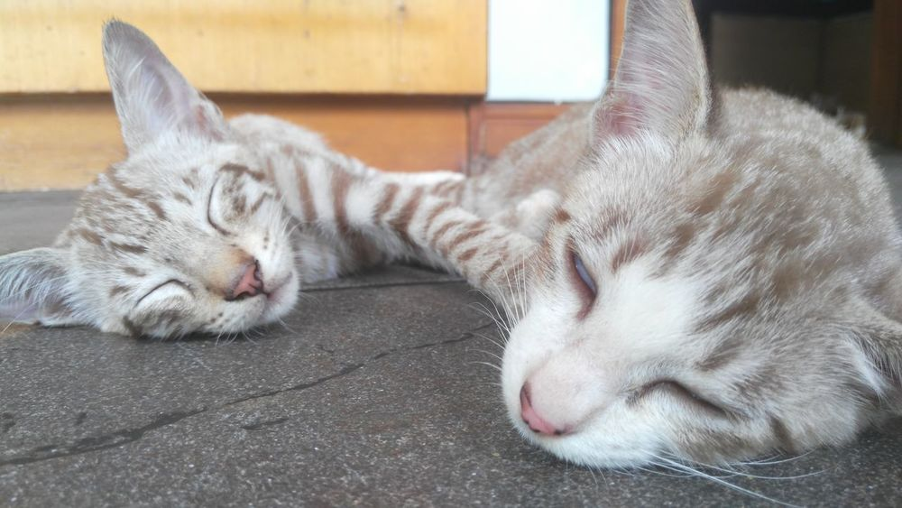 TWINS ♥ Pets Domestic Cat Domestic Animals Eyes Closed  Sleeping Cat Relaxation Lying Down Close-up Beautynature And_adachii EyeEmtoday Eeyemstory Explore Nature HelloEyeEm Beauty In Nature LenovoVibeZ Bestoftheday High Angle View Photooftheday Happiness Helloworld No People Cat Of Eeyem Nature
