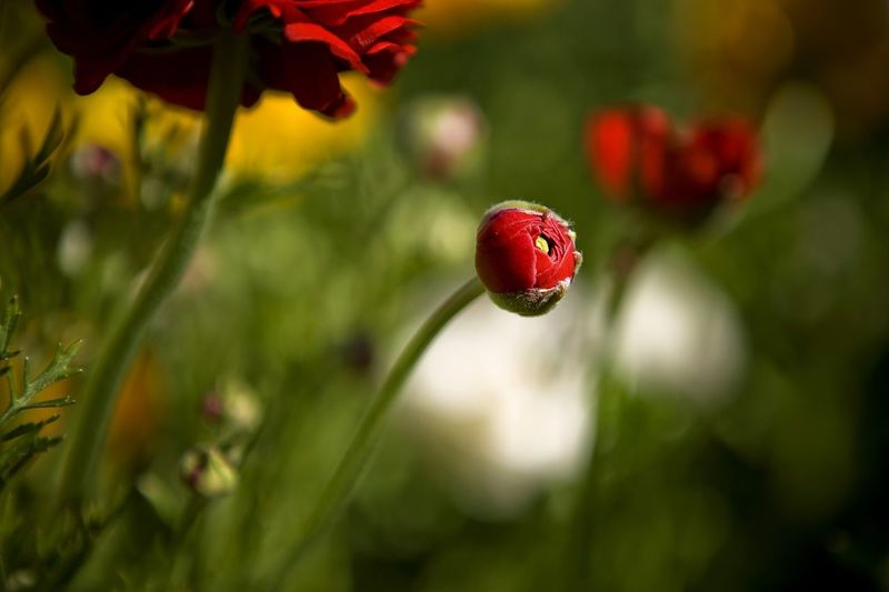 Tulips in Spring Tulips Beauty In Nature Close-up Day Drop Flower Flower Head Focus On Foreground Fragility Freshness Growth Nature No People Outdoors Petal Plant Red