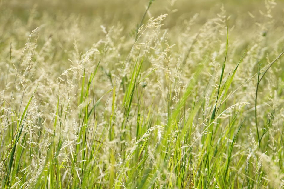 Close-up Of Field Field Of Wild Grasses Freshness Full Frame Shot Grass In The Wind Green Colour No People No Photoshop, No Filter Rural Scenery Sony A6000 Toscany Summer Valdichiana, Toscany