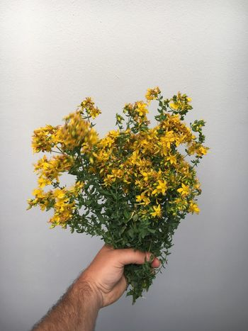 Johanniskraut Flower Human Hand Yellow Human Body Part Nature Beauty In Nature Real People Freshness Petal One Person Fragility Holding Flower Head Close-up Day Growth Outdoors People Healing Herbs Plant Plants Nature Beauty In Nature Medicinal Plant