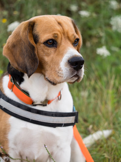 Flower Field Marierichphotography Olympus Animal Themes Beagle Close-up Day Dog Dog In A Flower Field Domestic Animals Dreaming Beagle Dreaming Dog Mammal Nature No People One Animal Outdoors Pet Collar Pets Sitting Dog