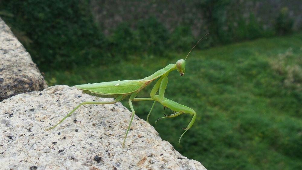 Praying Mantis Macro Connected With Nature Nature Nature On Your Doorstep Mantis OSAKA Japan
