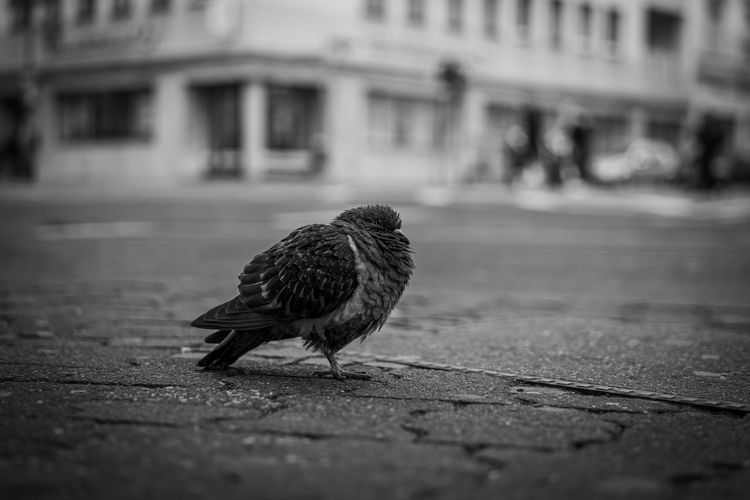 Pigeon perching on a street