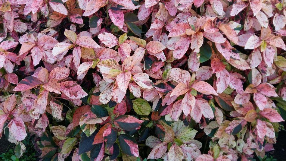 Plant Shrub Nature Pink Leaves EyeEmNewHere
