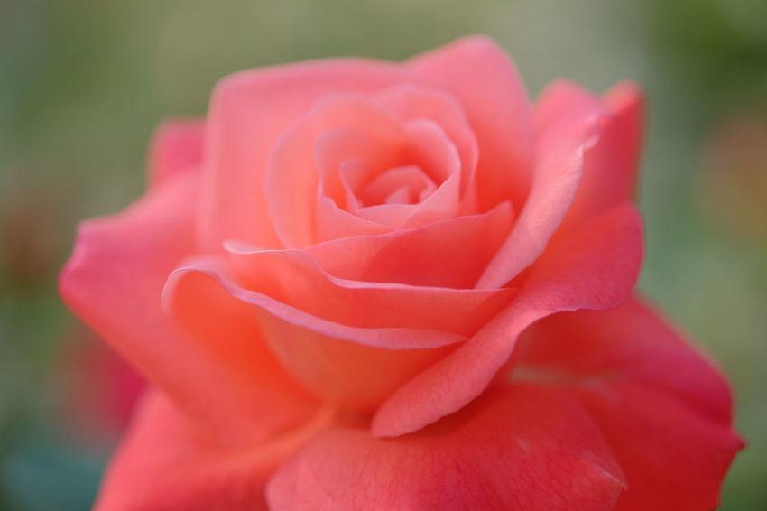 Rosé Pink Rose Flowerporn EyeEm Flower Beautiful Elegance Everywhere Fujifilm Xf60 Pro Neg. Hi The Minimals (less Edit Juxt Photography) Learn & Shoot: Simplicity Macro Beauty