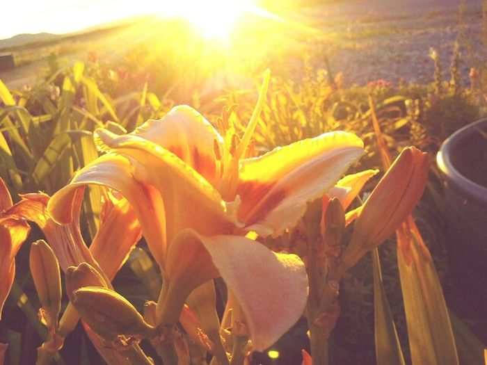 Check It Out Taking Photo Beautiful Flower Relaxing Plant Plant And Flowers Sun Orange Flower Yellow Look Like Fire