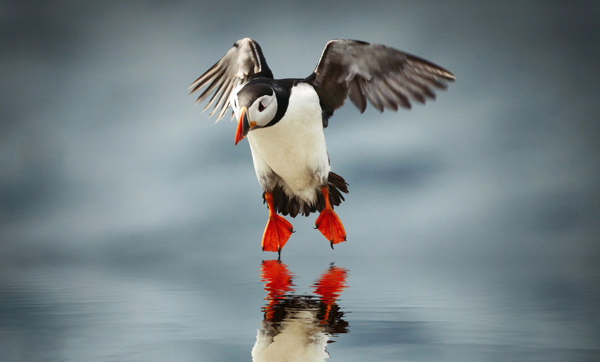 Atlantic Puffin, the moment of landing Animal Bird Animal Themes Vertebrate Animal Wildlife Animals In The Wild Water Spread Wings One Animal Flying Nature No People Day Lake Outdoors Full Length Waterfront Motion Flapping