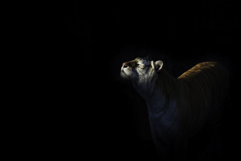 Lion against black background