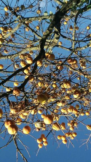 Growth Nature Beauty In Nature Low Angle View Branch No People Fruit Outdoors Freshness Day Tree Flower Sky Close-up Fragility kaki Sharon Fruit plaqueminier For My Eyeem Friends