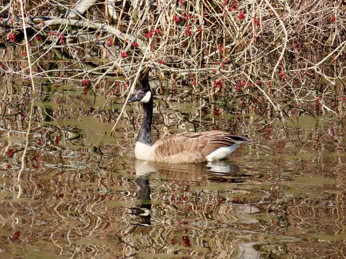 Canada goose swimming water reflections outdoors birdwatching at the preserve beauty in nature Bird Animal Themes Water Bird No People