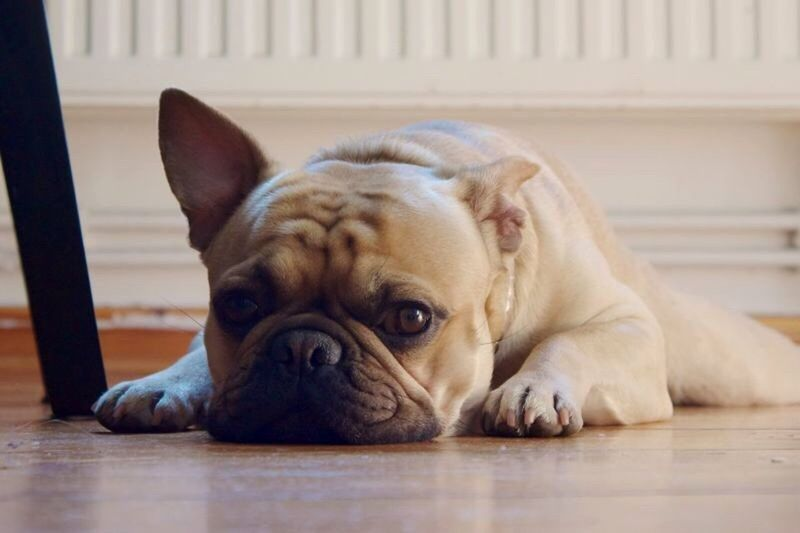 Pets One Animal Domestic Animals Dog Animal Themes Mammal Relaxation Indoors  Resting Close-up Bored Bored Af Lying Down Zoology Loyalty Flooring Vertebrate Animal Portrait French Bulldog Selective Focus