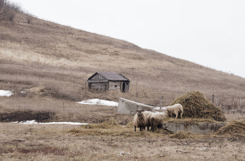 Old hut and flock of sheep on the background of the hill