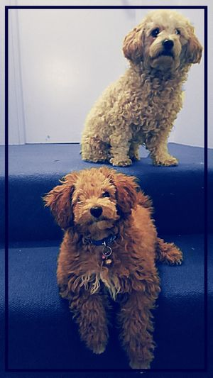 Jesse n buddy Dogs Toypoodles