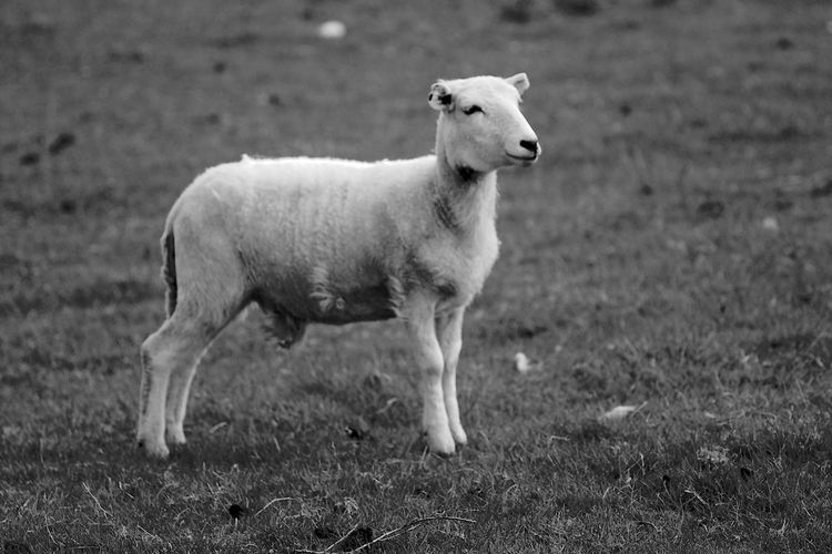 Deep in Thought Mammal Animal Domestic Animals Animal Themes Domestic Livestock One Animal Vertebrate Standing Sheep Nature Young Animal Herbivorous