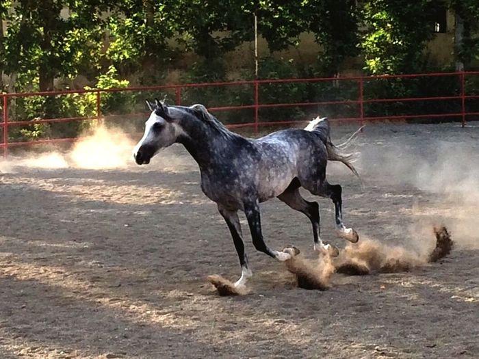 Arab horse in