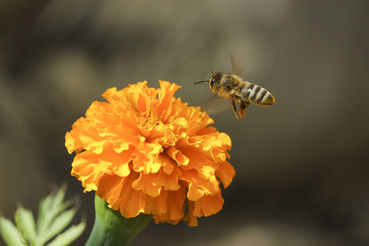 Close-up of honey bee hovering on marigold