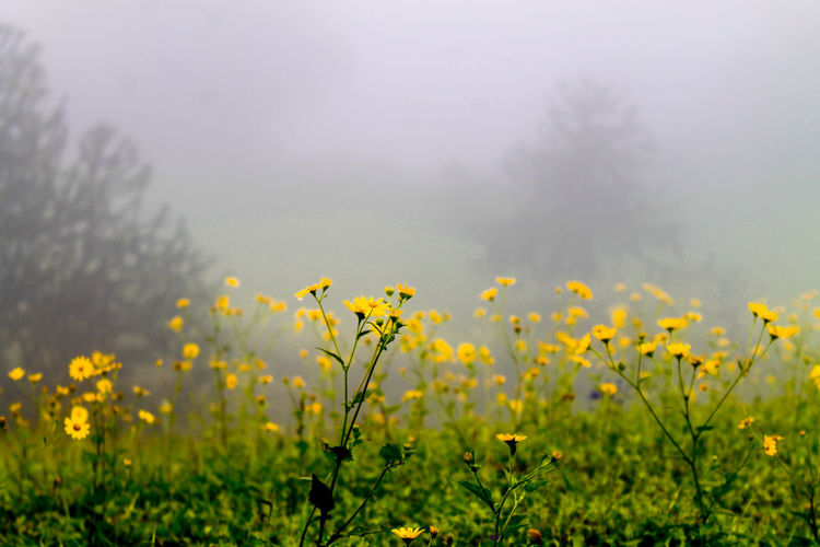 Close-up of yellow flowers in field