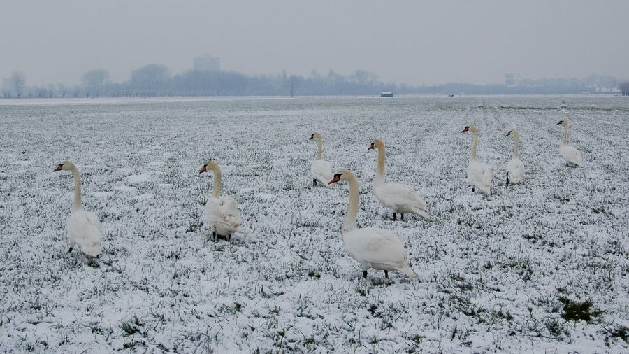 Swans in a frozen field Composition With Birds Field Frozen Nature Grasland Meadow Birds Outdoor Pictures Swans Winter Morning