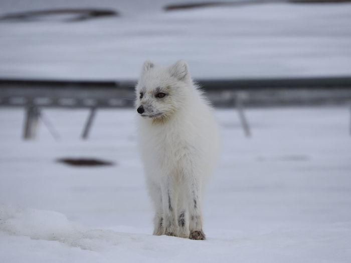 Arctic fox standing on snow