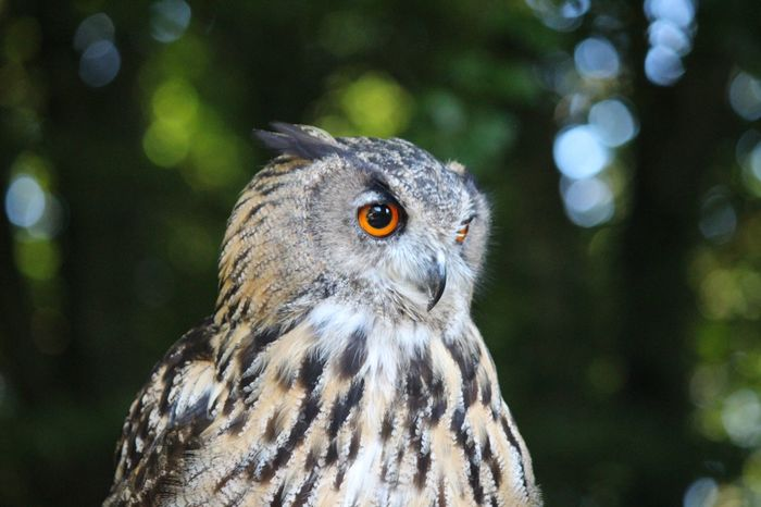 Eagle Owl  Owl Bird Animals In The Wild Animal Themes One Animal Animal Wildlife Bird Of Prey