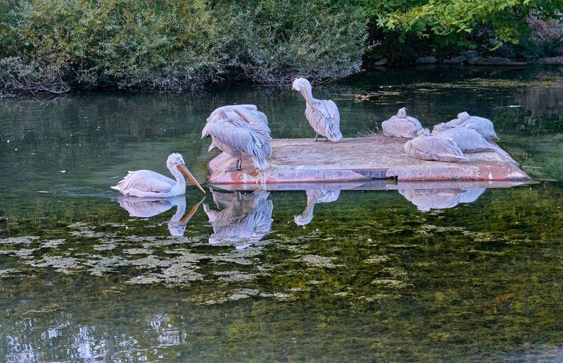 Ladyphotographerofthemonth Reflection Reflections In The Water Pelican Swimming Zoophotography My Point Of View Switzerlandpictures Eye For Photography Pelicans Water Lake Reflection Day No People Nature Animal