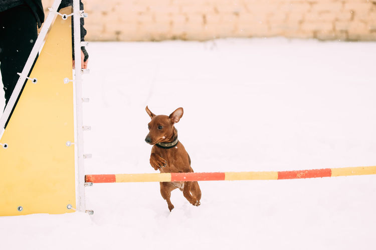 Funny Dog Red Brown Miniature Pinscher Pincher Min Pin Zwergpinscher Jumping Through Barrier In Snow During Agility Dog Training At Winter Season. Snow Pets Dog Purebred Breed Pedigree Winter White Playing Day Animal Cold Funny Brown Miniature Pinscher Pincher Min Pin Zwergpinscher Jumping Barrier