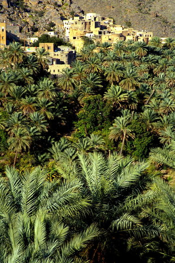 Adobe Adobe House Adobe Houses Adobe Village Al Hajar Al Hajar Mountain Al Hajar Mountains Al Hajar Mountains Range Al Hajar Mountains Range Architecture Green Green Color Montains    Mountain Village Nature Ocher Ocher Color Ochre Ochre Color Palmtrees Trees Village Village View