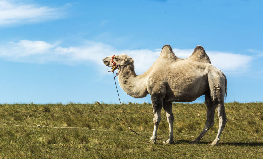 Camel Standing On Field Against Sky