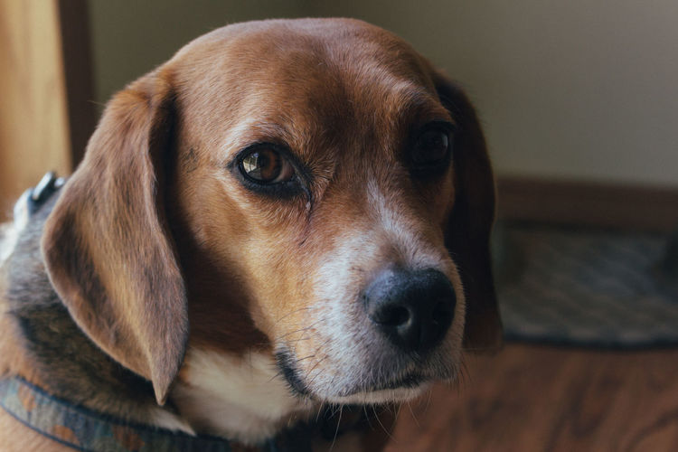 // Pups 🐶 Dog Pets One Animal Domestic Animals Looking At Camera Portrait Mammal Animal Beagle Animal Themes Indoors  Puppy No People Sitting Close-up