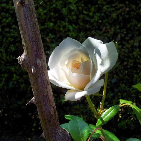 Rosa Roseto Roma Profumo primavera rose rome spring