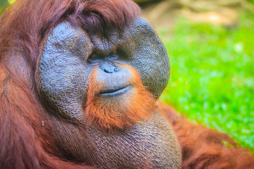 Close up to face of dominant male, Bornean orangutan (Pongo pygmaeus) with the signature developed cheek pads that arise in response to a testosterone surge. Bornean Gibbon Borneanorangutan Orangutan Of Borneo Pongo Animal Animal Body Part Animal Family Animal Head  Animal Themes Animal Wildlife Animals In The Wild Ape Bornean Bornean Orang Utan Bornean Orangutan Brown Close-up Day Dominant Male Focus On Foreground Looking Looking Away Mammal Monkey No People One Animal Orangutan Orangutan Closeup Orangutang Orangutans Pongo Pygmaeus Primate Vertebrate Zoo