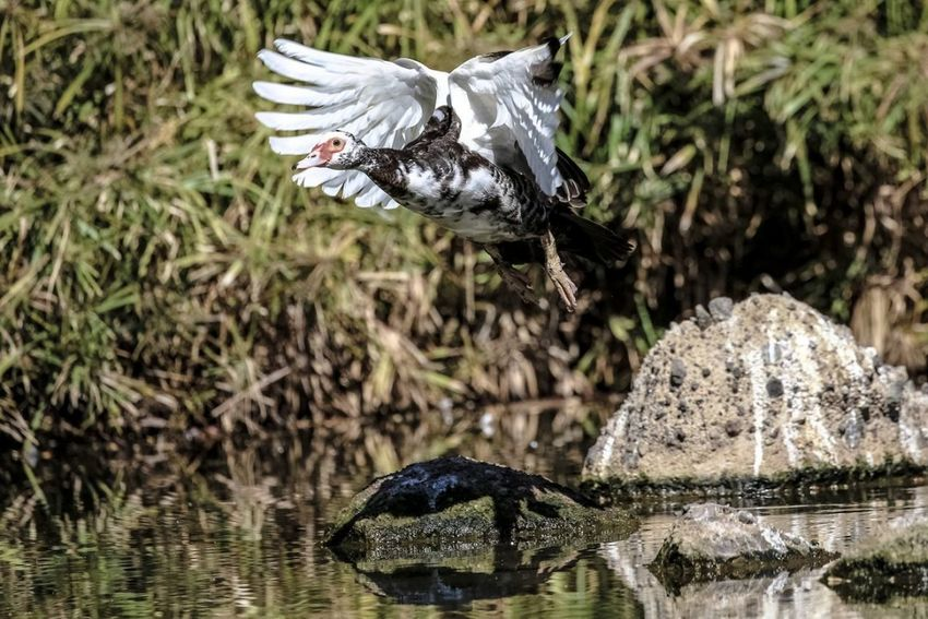 Musc be my shadow. Muscovy duck casting it's shadow on a rock whilst in flight Bird Birds Of EyeEm  Bird Photography Birds🐦⛅ Birds In Flight Birding Bird In Flight Nature Collection Nature Photography Action Shot  Action Beauty In Nature Beautiful Movement Motion Muscovy Duck Duck Duck In Flight Water Bird River Close-up