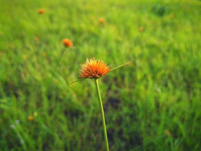 Dry grass flower. Flower Head Growth Infloroscence Eye4photography  Macro Botany Green Mobile Photography Poppy Grass Flowers Grass Flower Grass Depth Of Field Nature Backgrounds EyeEm Nature Lover Fragility Inflorescence Withered Flower Flower Thistle Dry Flower  Biology Close-up Focus On Foreground Orange Flower