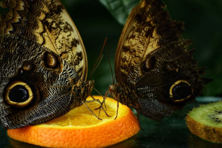 Don't touch my orange!! Butterfly Owl Butterfly Owl Eye Butterfly Insect Orange Slice Of Orange Wood Wild Fight Fighting Brown Yellow Camouflage Water Close-up