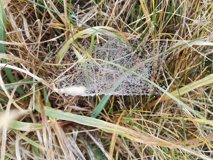 web of dew Web