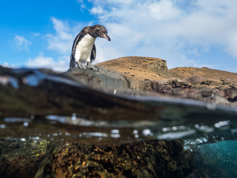 """A Gálapagos penguin stares at the water at it's feet, before taking the leap. (Olympus E-M1 ƒ/5.0 12mm 1/250"""" iso 100) Animal Animal Themes Animals In The Wild Bird Day Full Length Galapagos Islands Looking Nature No People Ocean One Animal Outdoors Penguin Rock Selective Focus Sky Swimming Waiting Water Wildlife Www.benjaminvanderspek.com The KIOMI Collection The Great Outdoors - 2016 EyeEm Awards The Great Outdoors With Adobe The Great Outdoors 2016 Finalists"""