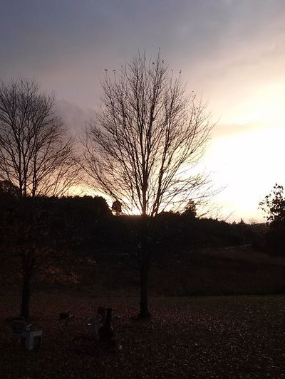 Bare trees on field at sunset