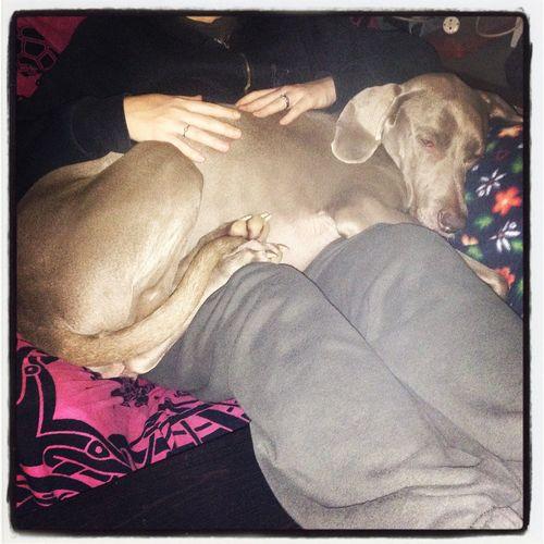 Sleeping Heklaweimaraner I Love My Dog Weimaraner