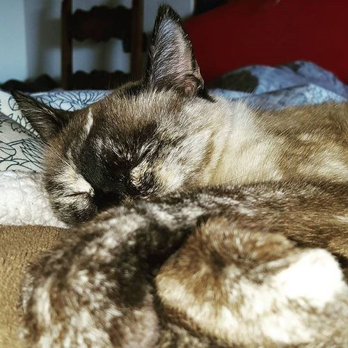 Happyness is a lazy Siamesecats