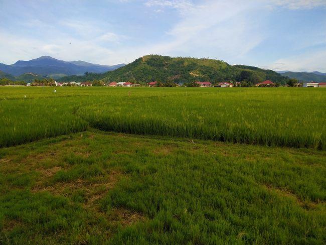lubuak anau Lubuak Anau Flower Mountain Tea Crop Rural Scene Agriculture Field Tree Sky Grass Landscape