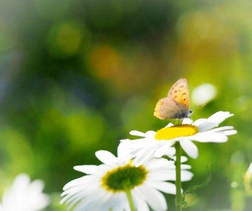 君の言葉が聞きたくて… ベニシジミ 蝶々 Butterfly Collection Butterfly - Insect Insect Collection Taking Photos My Point Of View Flower Collection EyeEm Nature Lover EyeEm Gallery Eyemphotography EyeEm Best Shots 日だまり EyeEm Best Shots - Nature