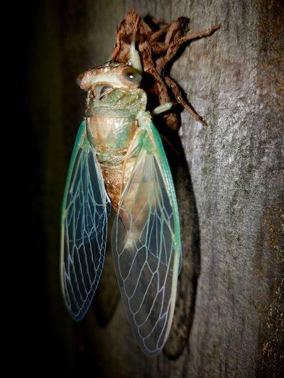 Cicada Cicada Cicada's Shell Incects Entemology Bug Bug Portrait Bug Life Close Up Fresh Cicada Iowa Cedar Rapids Canman Show Studio