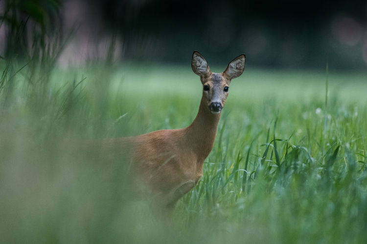 Portrait of roe deer standing amidst plants