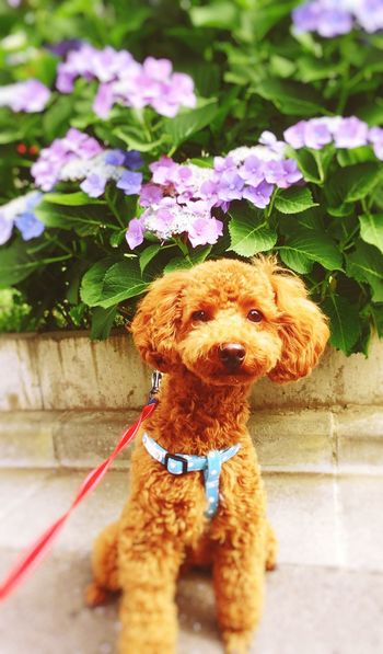 Dog Pets One Animal Sitting Flower Tokyo,Japan チロル Daily Life Toypoodl Japanese Hydrangea The Rainy Season June
