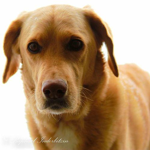 Dieschönstwosgid Perla Dog Labraduudel blonde sweet mylittleprettyone goldie