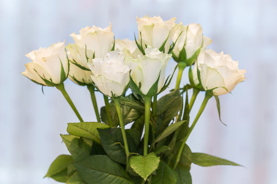 Bunch of white roses Beauty In Nature Blossom Bouquet Bunch Of Flowers Close-up Flower Flower Head Focus On Foreground Fragility Freshness High Section Indoors  Large Group Of Objects Leaf Nature No People Plant Rose - Flower Simplicity Still Life White Color Pastel Colored