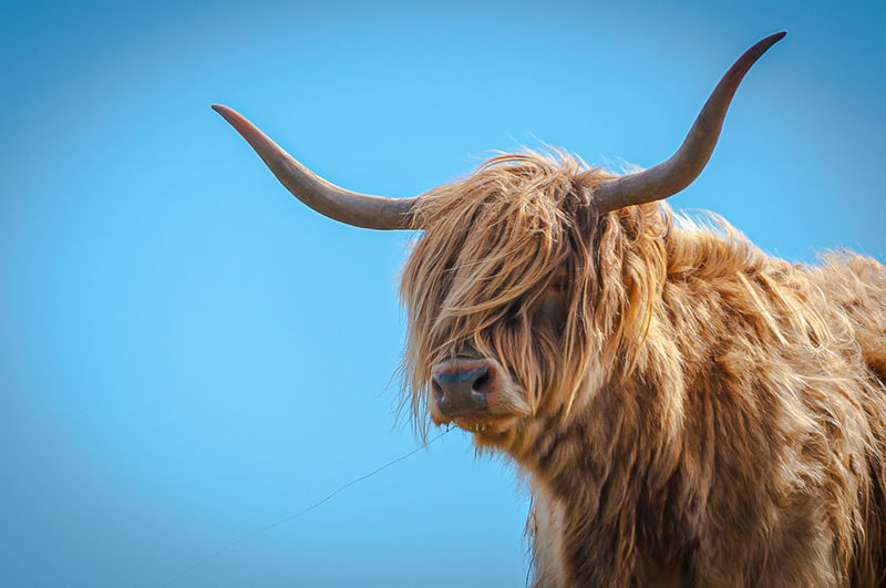 Highlander cow close up with the hair moved by the wind, scotland