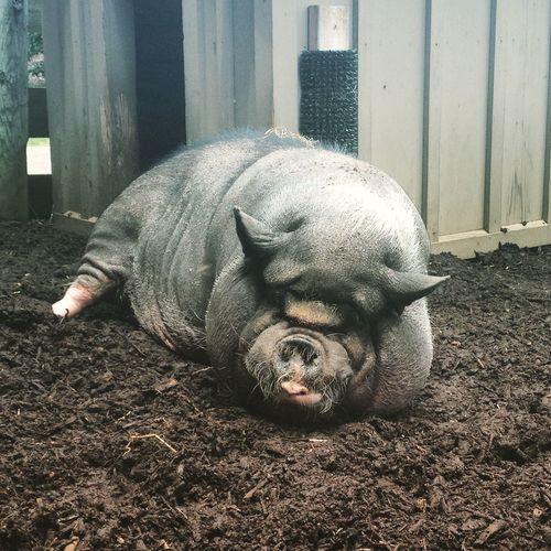 Vietnamese Pig Maymont Park Richmond, VA