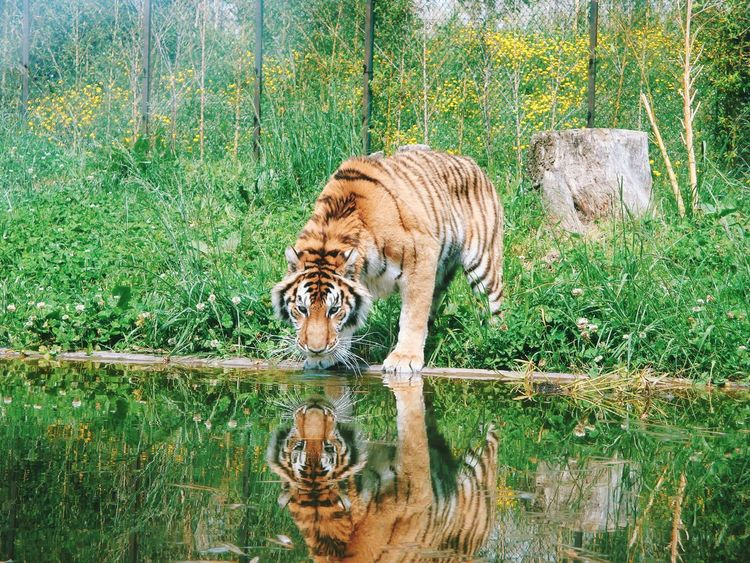 Animal Themes Tree Mammal Nature No People Day Grass Water Animals In The Wild Plant Outdoors Domestic Animals Beauty In Nature Tiger Reflection Mirror Narcissus